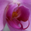 Creations By Julie - Blushing Pink Orchid